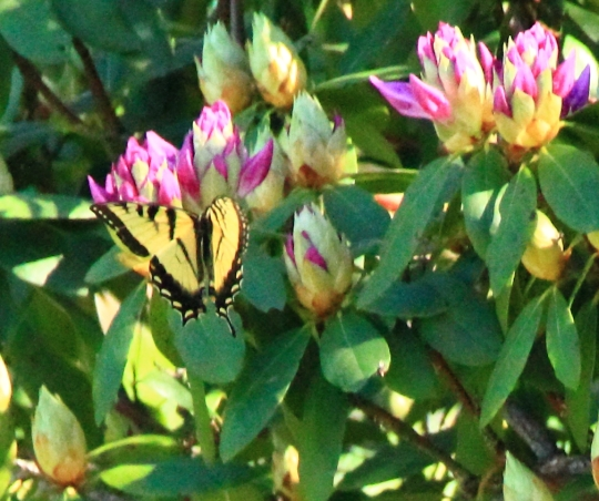 Butterfly dreams 0020