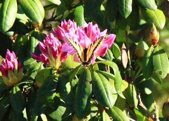 Butterfly dreams 0024